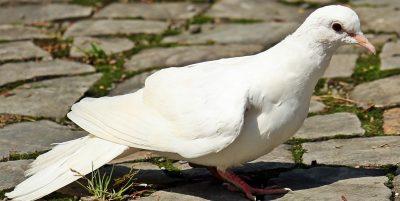 significado espiritual paloma blanca
